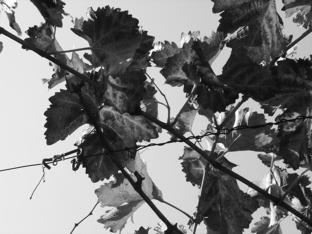 Weingut Dick Kaub Weinrebe